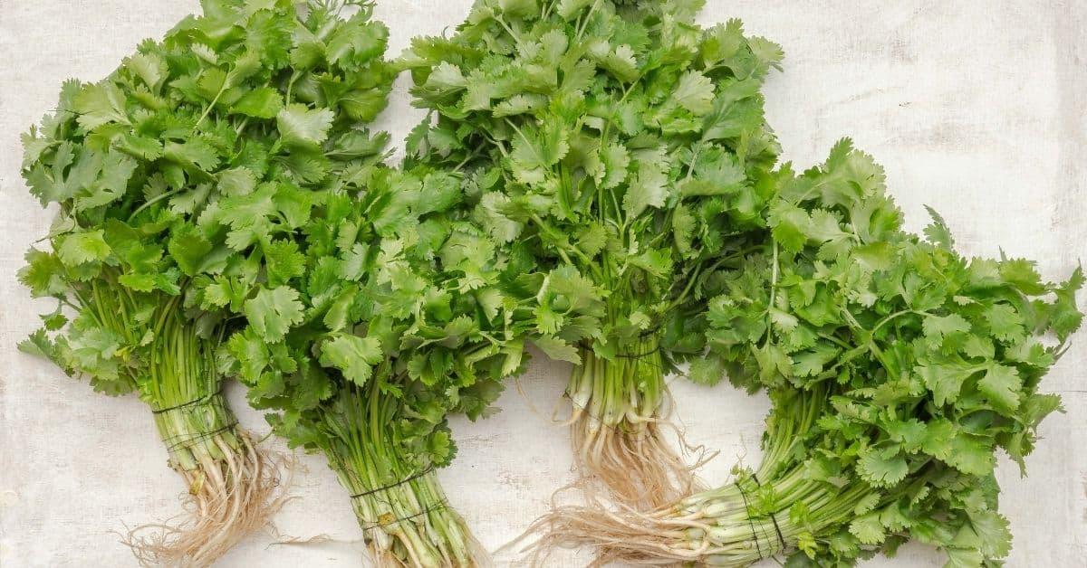 Fresh green cilantro